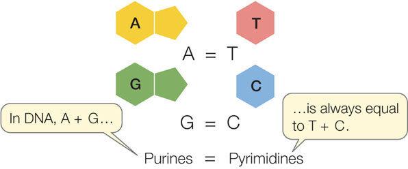 Diferencias entre Purinas y Pirimidinas. Erwin Chargaff