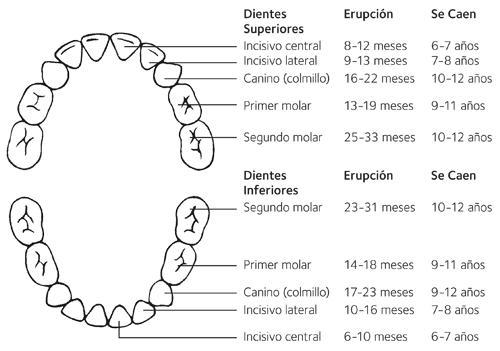 Edad Dental