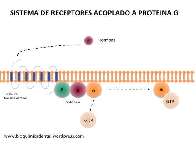 Receptores acoplados a las proteínas G