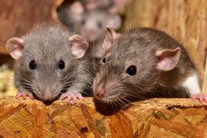 Ratones empleados para investigación genética