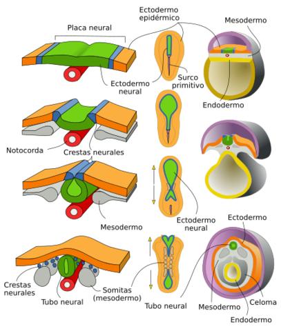 Neurulación primaria
