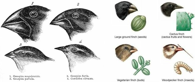 Survival of the fittest- Darwin's Finches