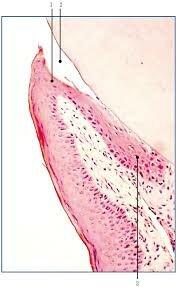 Gottlieb describió la fisiología del epitelio de unión a la encía.