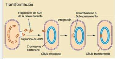 FREDERICK GRIFFITHLleva acabo el descubrimiento de la transformación bacteriana