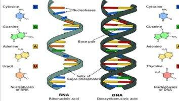 HEINZ LUDWIG FRAENKEL-CONTRAT Y ROBLEY WILLIANS Demustran que el RNA era el material genetic del virus del mosaic del tabaco