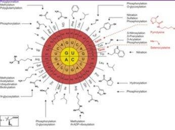 MARHALL NIRENBERG Y MATTHAEIDescubren que el codón UUU codificaba para el aminoácido fenilamina experimento que sento las bases para la elucidación del código genético