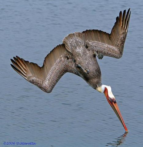 Brown Pelican Off Endangered List