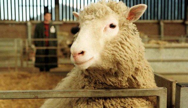 Dolly, la première brebis clonée est née