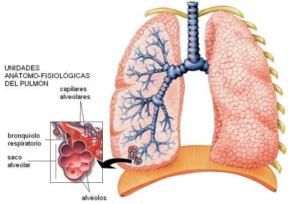 Red de capilares pulmonares