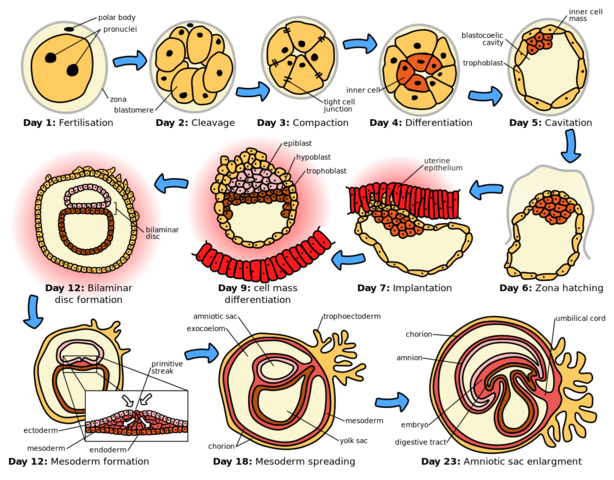 Estudio embriológico