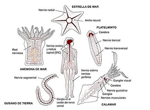 Aparición de diferentes tipos de organización nerviosa.