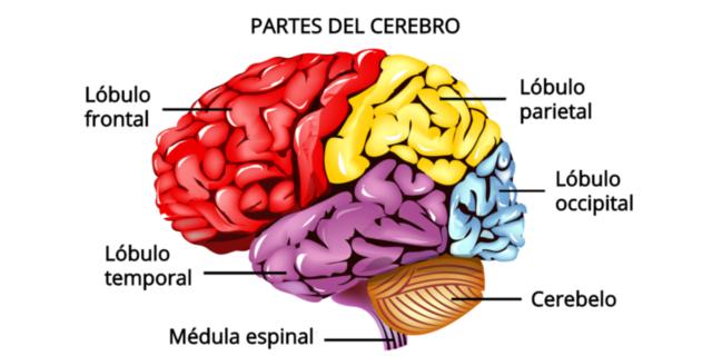 Cerebro actual