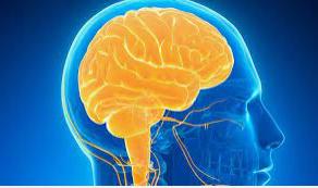 ¿Cuándo se hizo complejo el cerebro y en qué organismo?
