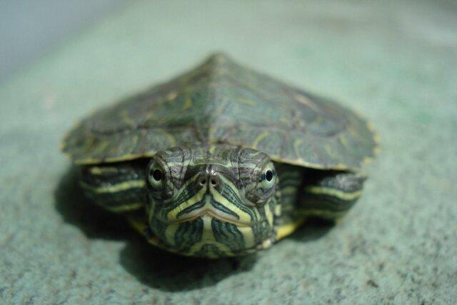 Joaneta la tortuga, La meva primera i ultima mascota