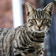 Adopto gats