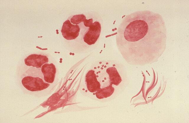 Conservación de Gonococcus