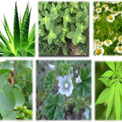 HISTORIA DE LAS PLANTAS MEDICINALES EN ECUADOR timeline