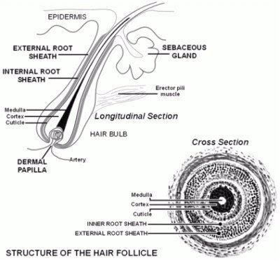 Hair is used in forensics