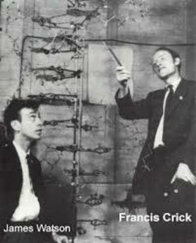 """Francis Crick y James Watson anuncian que han desarrollado el ADN  """"la estructura de la molécula de la vida""""."""