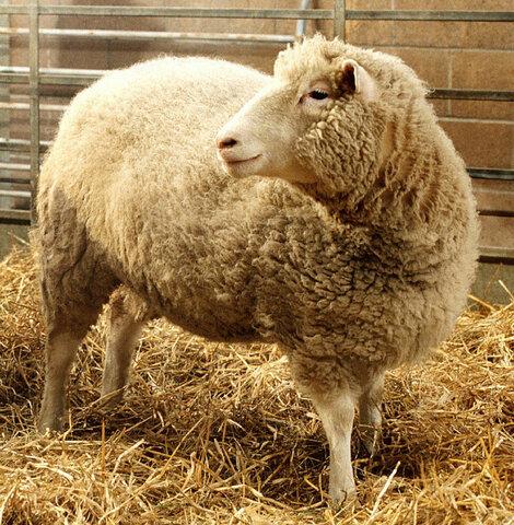 """Dolly the sheep """"es el primer mamífero clonado de una célula adulta del cuerpo."""