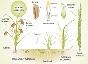 Comienza a cultivarse el arroz