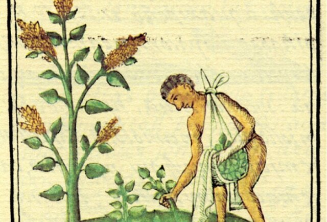 """Segunda etapa: """"recolección y selección de plantas"""""""