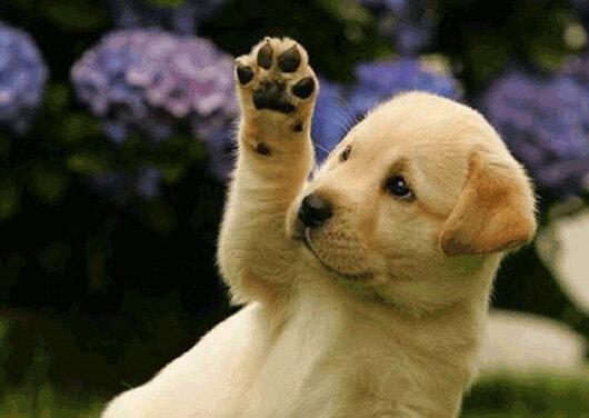 Primer gos
