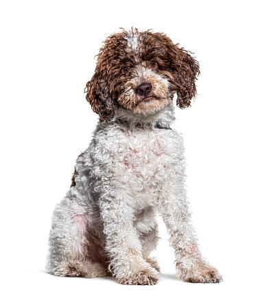 Primo cane: Lagotto da tartufi (preso ad Imola)