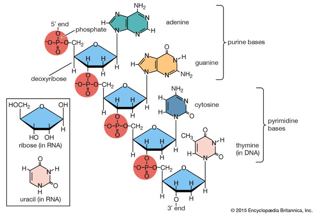 Discover of DNA components (1869-1940)