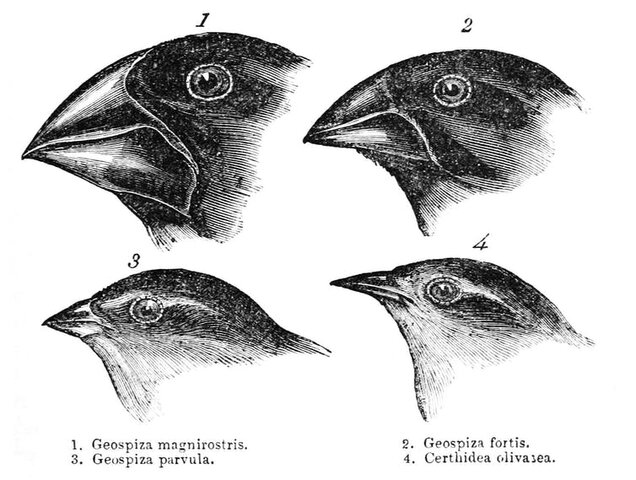 Charles Darwin, 1809-1882 – Pencil sketch of Evolutionary Theory