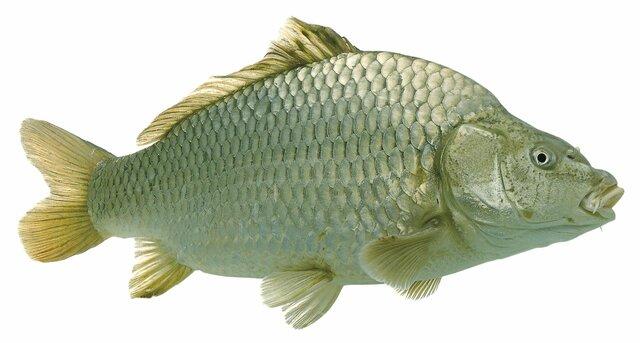 Esimesed kalad