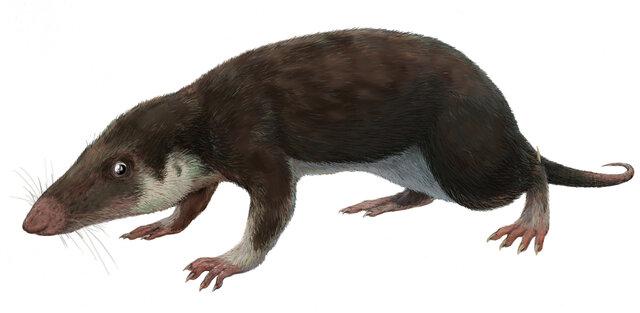 Esimene imetaja Morganucodon