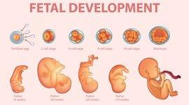 Periodos embrionarios y fetal timeline