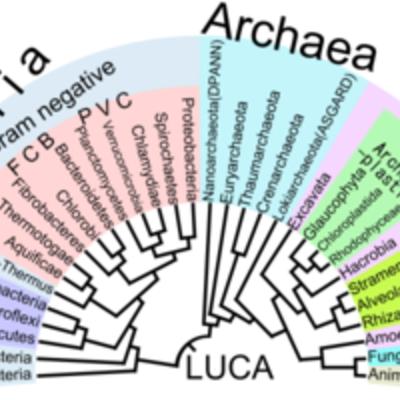 Árbol filogenético evolución timeline