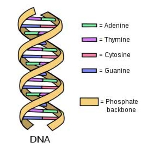 DNA is shown to be the material substance of the gene.