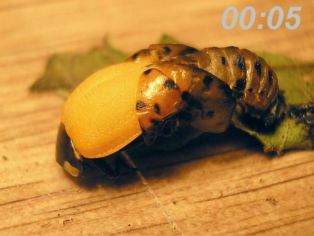 Pupa Stage