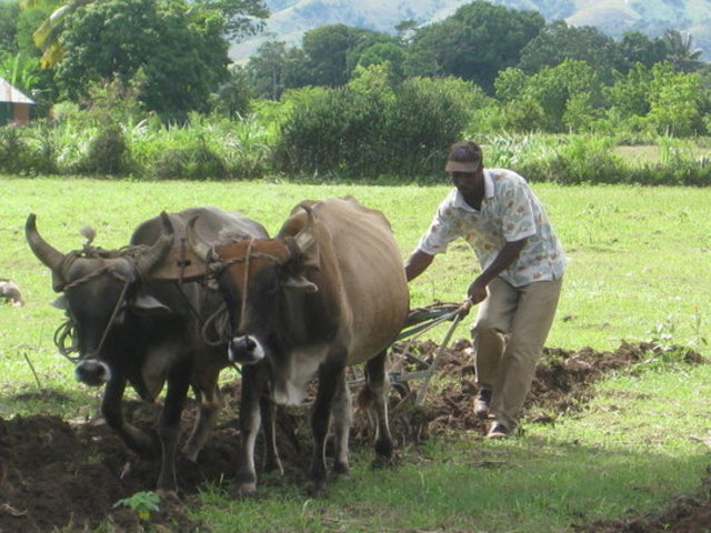 Oxen Plows