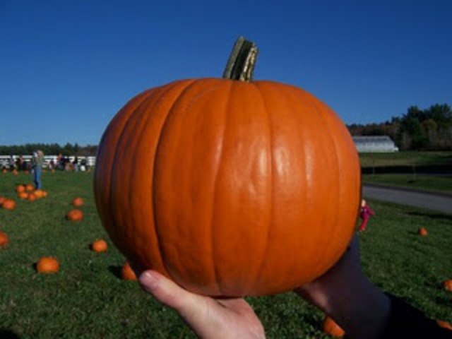 The pumpkin is ripe and ready to be picked