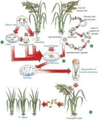 Agrobcterium-meditaed gene