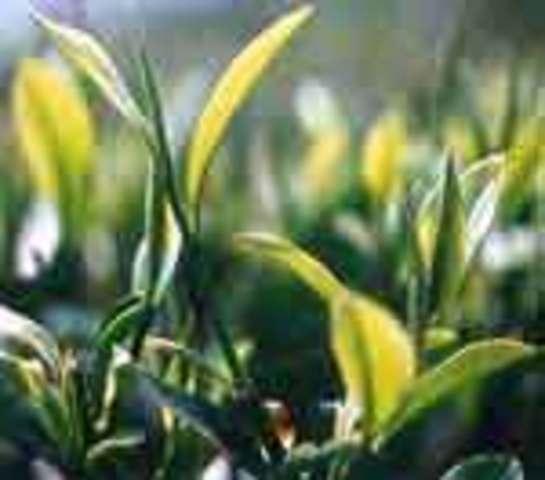 EFSA rejects Unilever black tea cognitive claim