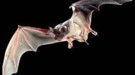 Mexican Free-Tailed Bat Migration Timeline