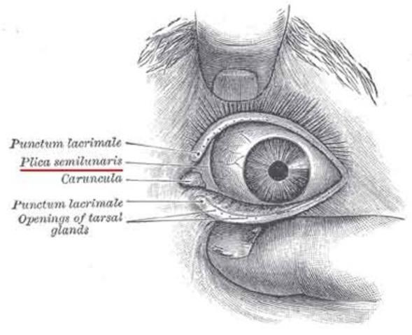 Third Eyelid: Darwin