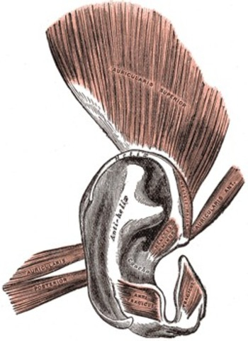 Extra Ear Muscles