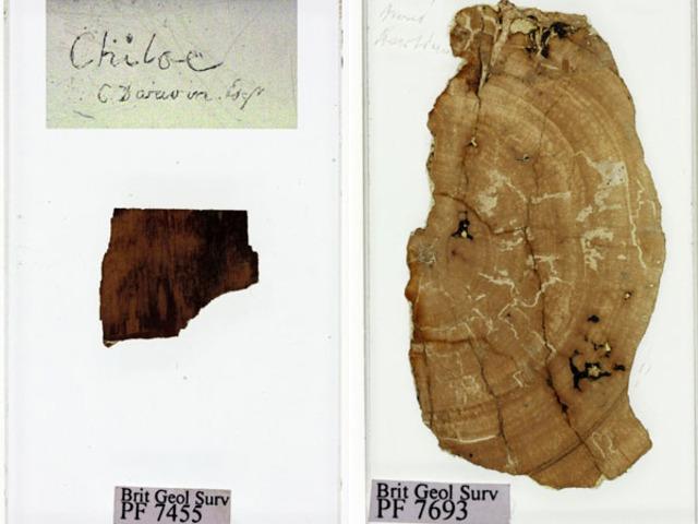 Analizan los fósiles recolectados por Darwin.