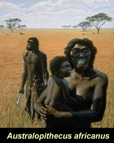Australopithecus africanus: