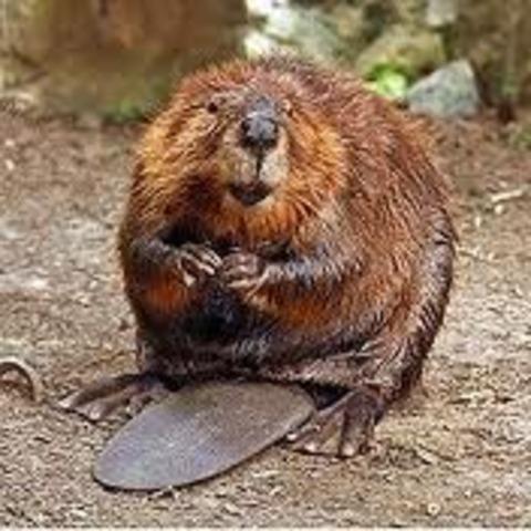 Yo salé mi eschuela de viajo, a voy a Beaver.