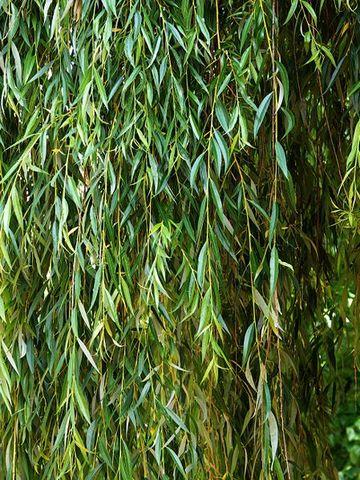 Willow Plants