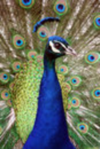 """""""Night of the Golden Peacock"""" Dance Recital"""