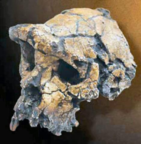 Sahelanthropus tchadensis  - 6/7 m.a.
