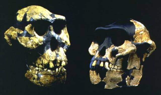 Australopithecus anamensis  - 4.2/3.9 m.a.